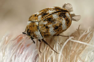 Insect Removal and Control from Carpets and Rugs in Milwaukee